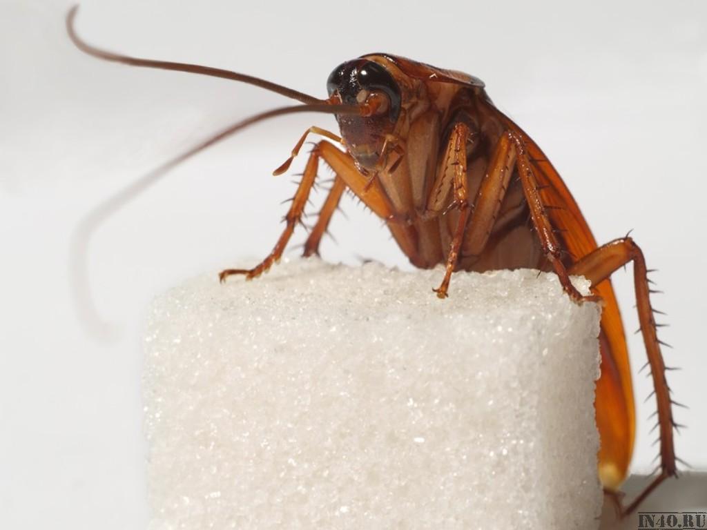 Как бороться с черными и рыжими тараканами?